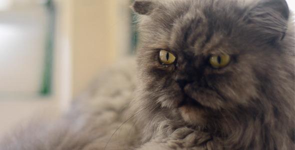 Sleeping Persian Cat