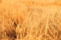 Gold wheat field - PhotoDune Item for Sale