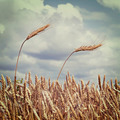 ears of wheat against the sky with clouds - PhotoDune Item for Sale