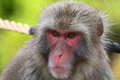Japanese Macaque Monkey of Arashiyama, Kyoto - PhotoDune Item for Sale