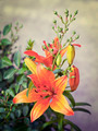 orange lilies blooming on a bed of flowers - PhotoDune Item for Sale