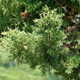 Branch Cypress on Green Background 832 - VideoHive Item for Sale