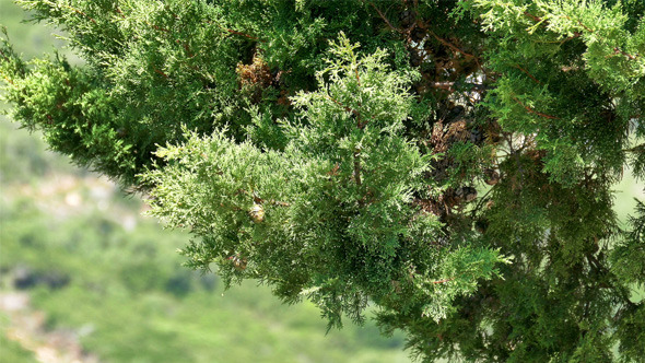 Branch Cypress on Green Background 832