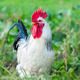 Beautiful Rooster on nature background - PhotoDune Item for Sale