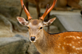 Japanese Deer in Miyajima Japan - PhotoDune Item for Sale