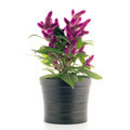 Cockscomb celosia spicata plant - PhotoDune Item for Sale
