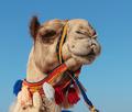 camel in Dubai - PhotoDune Item for Sale