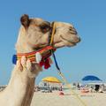 Camel on the beach in Dubai Marina - PhotoDune Item for Sale