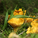 Chanterelle Mushroom - VideoHive Item for Sale