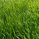 Green Grass Sway in the Wind - VideoHive Item for Sale