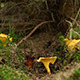 Forest Chanterelle Mushrooms - VideoHive Item for Sale