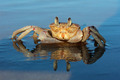 Ghost crab on beach - PhotoDune Item for Sale