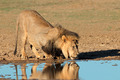 African lion drinking - PhotoDune Item for Sale