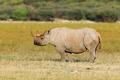 Black rhinoceros - PhotoDune Item for Sale