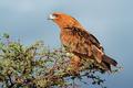 Tawny eagle - PhotoDune Item for Sale