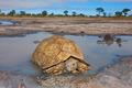 Leopard tortoise - PhotoDune Item for Sale