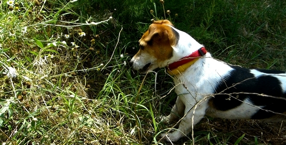 Jack Russell Terrier 16