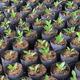 Banyan plants - PhotoDune Item for Sale