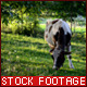 Cow Grazing Grass - VideoHive Item for Sale