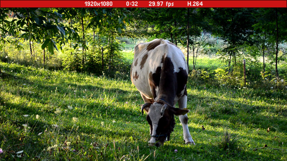 Cow Grazing Grass
