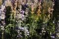 antique lavender flower photograph - PhotoDune Item for Sale