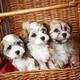 Bichon havanese puppies - PhotoDune Item for Sale