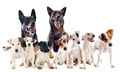 group of jack russel terrier and malinois - PhotoDune Item for Sale