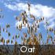 Oat Field - VideoHive Item for Sale