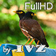 Common Myna - VideoHive Item for Sale