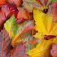 Maple leaf background - PhotoDune Item for Sale
