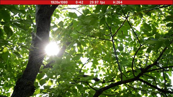 Sunny Walnut Tree