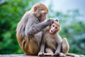 Macaques in China - PhotoDune Item for Sale