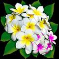 Plumerias Flowers Bouquet - PhotoDune Item for Sale