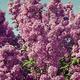 lilac bush against the blue sky - PhotoDune Item for Sale