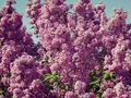 lilac bush against the blue sky - PhotoDune Item for Sale