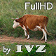 Cows - VideoHive Item for Sale