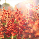 Sunny Red Flowers - VideoHive Item for Sale
