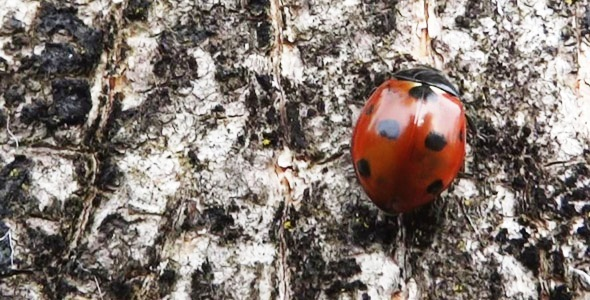 Ladybug On Tree