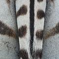 Common Zebra skin - PhotoDune Item for Sale