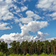 Clouds in Pine Forest