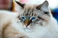 Ragamuffin cat portrait - PhotoDune Item for Sale