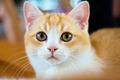 British shorthair cat portrait - PhotoDune Item for Sale