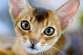 Abyssinian cat portrait - PhotoDune Item for Sale