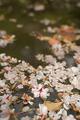 Sakura blossom petals falling on the water. - PhotoDune Item for Sale