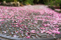 Falling cherry blossom petals on the sewer lid. - PhotoDune Item for Sale