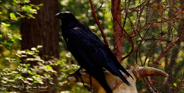 Bird Raven 3