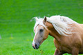 Horse runs on a green summer meadow - PhotoDune Item for Sale