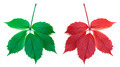 Red autumn and green virginia creeper leaves - PhotoDune Item for Sale