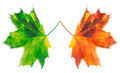 Orange and green yellowed maple-leafs - PhotoDune Item for Sale