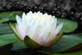 Beautiful waterlily Hybrid flower. - PhotoDune Item for Sale